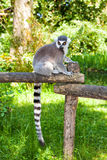Ring-tailed lemur with a striped tail on a log Royalty Free Stock Photo