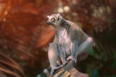 Ring-tailed lemur sun-loving primates sitting among trees Stock Photo