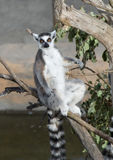 Ring Tailed Lemur Sunbathing. A Ring Tailed Lemur sitting on a branch sunbathing Royalty Free Stock Photos
