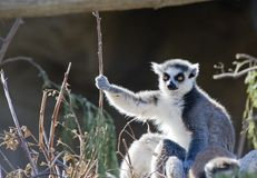 Ring Tailed Lemur Sunbathing Stock Photo