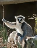 Ring Tailed Lemur Sunbathing Stock Images