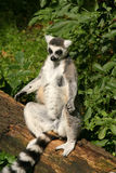 Ring-tailed lemur sunbathing Stock Images
