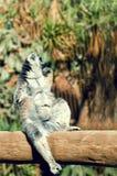 Ring-tailed lemur sunbathing on the tree. Lemur catta endemic to the island of Madagascar Stock Images