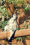 Ring-tailed lemur sunbathing on the tree. Lemur catta endemic to the island of Madagascar Royalty Free Stock Photography