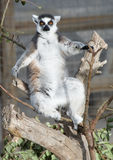 Ring Tailed Lemur Sunbathung. A Ring Tailed Lemur Sunbathing in a Tree Stock Photography