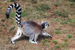 The ring-tailed lemur Royalty Free Stock Photography