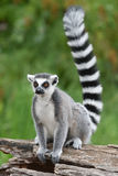 Ring-tailed lemur. On the tree Stock Image