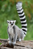 Ring-tailed lemur. On the tree royalty free stock photos