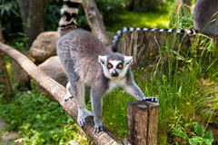 Ring-tailed lemur on the tree Stock Photography