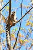 Ring-tailed lemur in tree Stock Photos