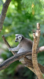 Ring-tailed Lemur in tree Royalty Free Stock Image