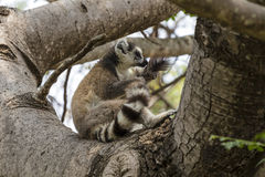 Ring tailed lemur on a tree Stock Image