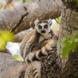 Ring tailed lemur on a tree Stock Photos