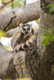 Ring tailed lemur on a tree Royalty Free Stock Photo