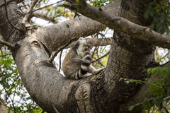Ring tailed lemur on a tree Royalty Free Stock Images