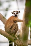 Ring-tailed Lemur on tree Stock Photos