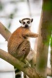 Ring-tailed Lemur on tree Stock Photos