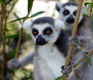 Ring-tailed lemur on tree and watch something, srgb image