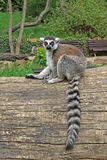 Ring-tailed lemur on a tree in a Zoo. Ring-tailed lemur sitting on a tree in a Zoo Royalty Free Stock Photography