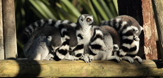 Ring tailed lemur. Stock Images