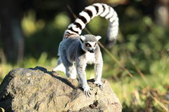 Ring tailed lemur. View of a ring tailed lemur on a rock Royalty Free Stock Photos