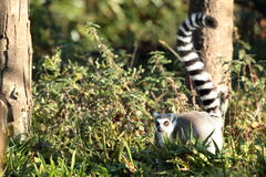 Ring tailed lemur. Stock Photos