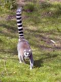 Ring-tailed lemur walking on grass royalty free stock images
