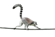 Ring-tailed lemur walking on a rope Royalty Free Stock Image