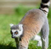 Ring tailed lemur walking on a sunny day Stock Photos