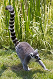 Ring-Tailed Lemur. Walking by the water Stock Image