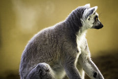 Ring-Tailed Lemur. Wildlife Ring-Tailed Lemur (Lemur catta Stock Photos