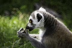 Ring-Tailed Lemur. Wildlife Ring-Tailed Lemur (Lemur catta Royalty Free Stock Images
