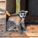 Ring-tailed lemur on a windowsill Stock Photography