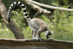 Ring-tailed Lemur. Young lemur is standing on a tree trunk Stock Photography