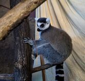 Ring-tailed lemur in the zoo of Karlsruhe Royalty Free Stock Photos