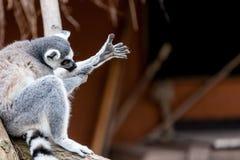 Ring-tailed lemur Royalty Free Stock Image
