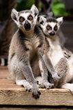 A ring-tailed lemur at the zoo stock images