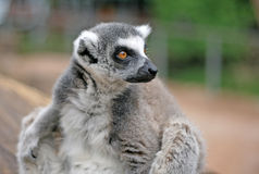 Ring-tailed lemur in a Zoo Royalty Free Stock Images