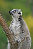 Ring-tailed lemur in a Zoo Royalty Free Stock Photos