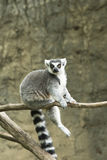 Ring tailed lemur in zoo. Ring tailed lemur sitting on tree branch in Houston, Texas zoo Royalty Free Stock Photography
