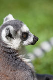 Ring tailed lemuren Royaltyfri Foto