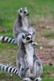 Ring tailed lemuren Arkivbilder