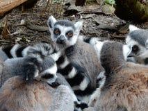 Ring tailed lemuren Royaltyfri Foto