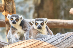 Ring tailed lemuren Royaltyfria Bilder