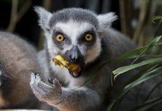 Ring tailed lemuren Arkivfoton