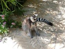 Ring tailed lemuren Royaltyfria Foton