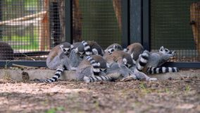 Ring-Tailed lemures Lemur catta sleeping in a group close together for safety. Encoded in ProRes 422 at 4K. A group of Lemurs cuddle up for safety at a Zoo in stock video