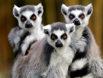Ring tailed lemurs arkivfoton