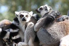 Ring Tailed Lemurs. Huddle together for warmth and to be sociable Royalty Free Stock Image