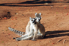 Ring tailed lemurs Royalty Free Stock Image